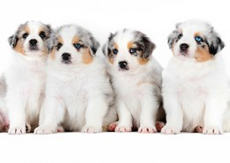 cuccioli_australian_shepherd