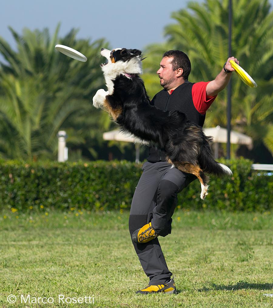 discdog australian shepherd