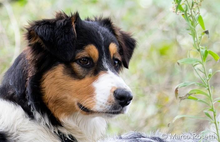 Lady Australian Shepherd