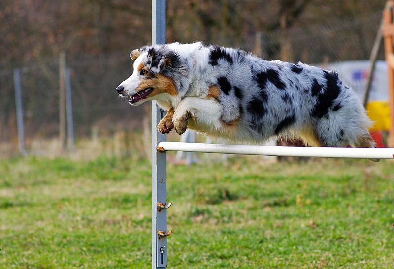 agility australian shepherd