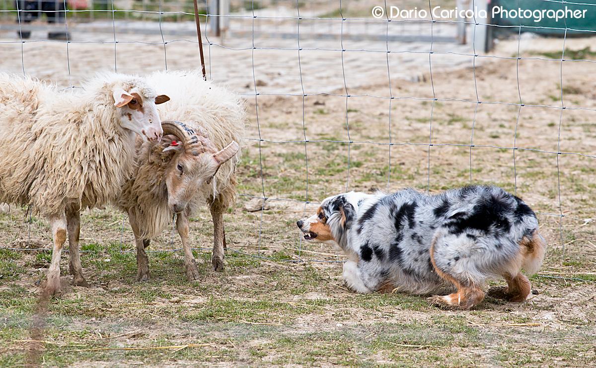sheepdog australian shepherd