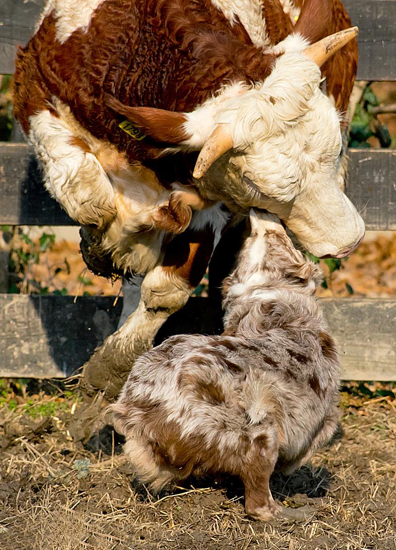 Linne da lavoro australian shepherd